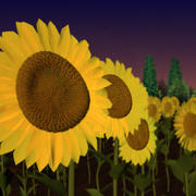 sunflower.zip 3d model