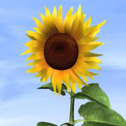 Sunflower Plant 3d model