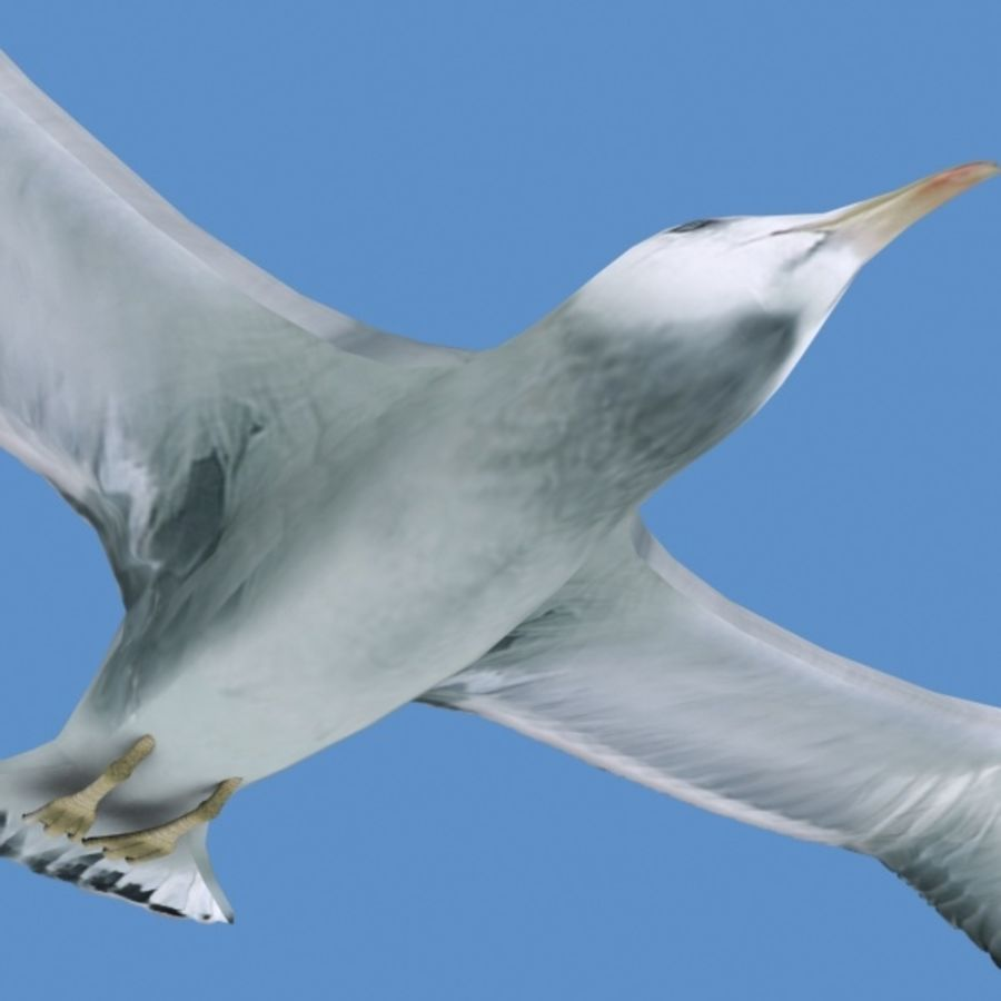 Rigged Seagull royalty-free 3d model - Preview no. 8