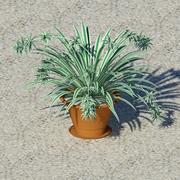 Chlorophytum comusum 3d model