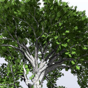 White_Oak_2.mb 3d model