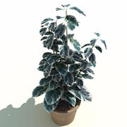 Ficus benjamina Starlight 3d model