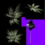 marijuana 3d model