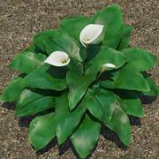 식물 칼라 릴리 3d model