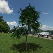 Birch tree # 4 3d model