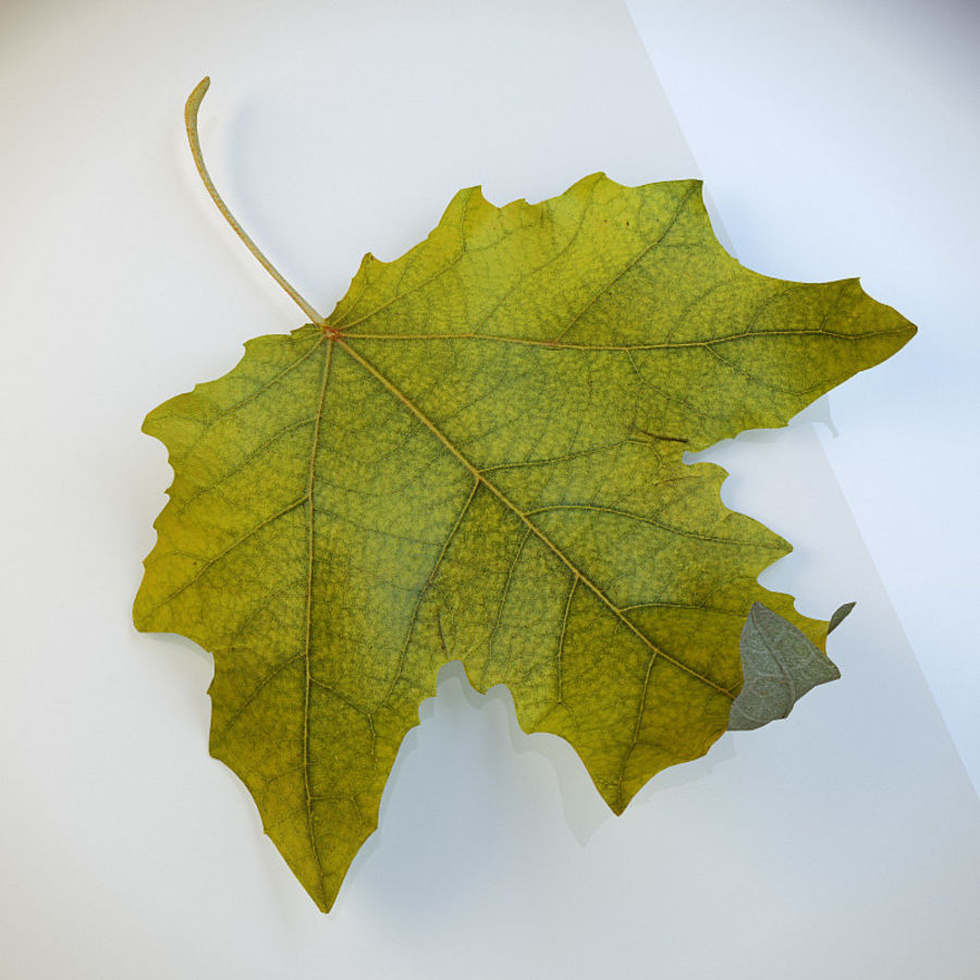Autumn leaf poplar royalty-free 3d model - Preview no. 2