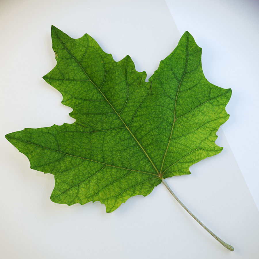 Autumn leaf poplar royalty-free 3d model - Preview no. 3