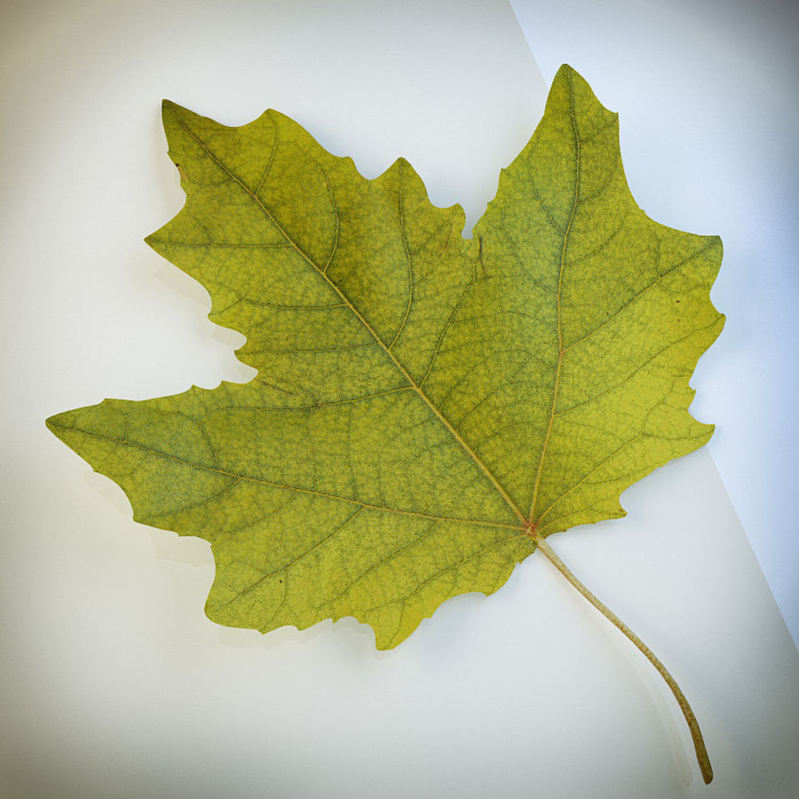 Autumn leaf poplar royalty-free 3d model - Preview no. 1