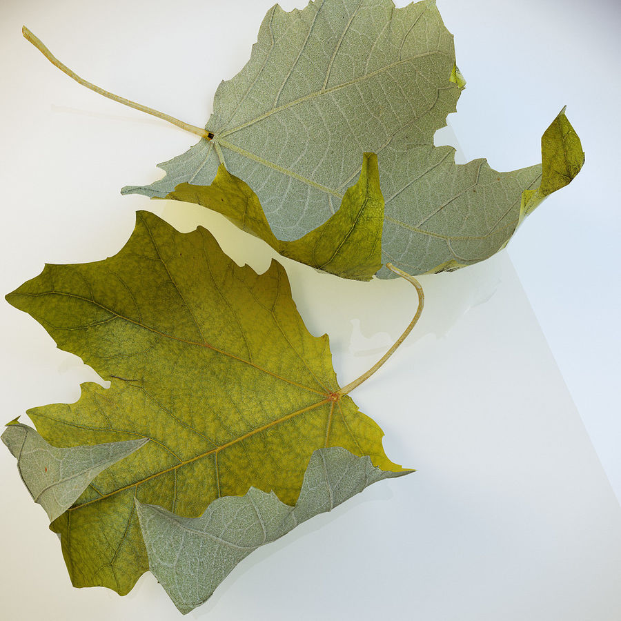 Autumn leaf poplar royalty-free 3d model - Preview no. 5