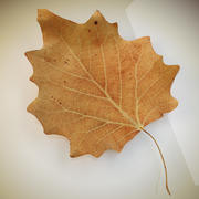 Autumn leaf  poplar dry 3d model