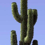 Cactus Saguaro 1 3d model