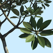 Frangipani Tree 3d model