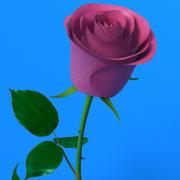 Rose Pink 3d model
