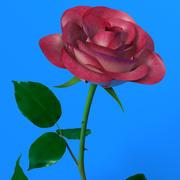 Rose red-white 3d model