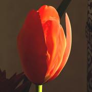 Tulipano 3d model