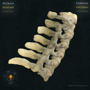 Vertebral Column Cervical 3d model