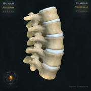 Vertebral column Lumbar 3d model