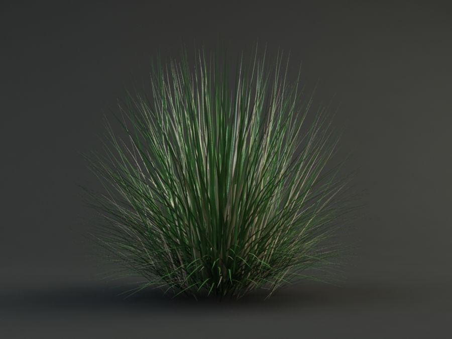 poa bluegrass royalty-free 3d model - Preview no. 2