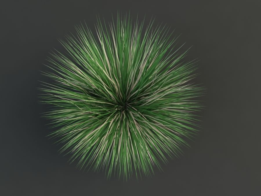 poa bluegrass royalty-free 3d model - Preview no. 3