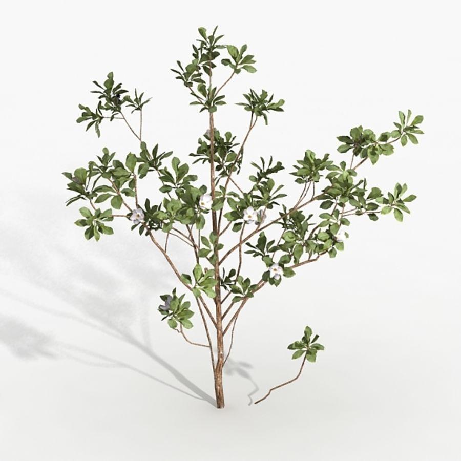 Växt Magnolia royalty-free 3d model - Preview no. 2