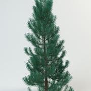fir abies pine 3d model