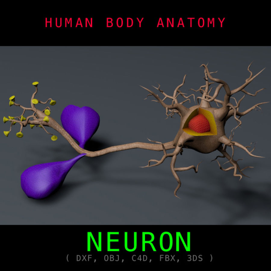 Neuron Anatomy Textured royalty-free 3d model - Preview no. 1