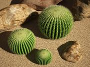 Kaktus Echinocactus 3d model
