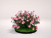 Appleblossom Groundcover Rose 3d model