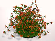 Tangerine Beauty Crossvine 3d model