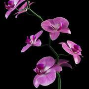orchidee 3d model
