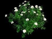 クチナシの花 3d model