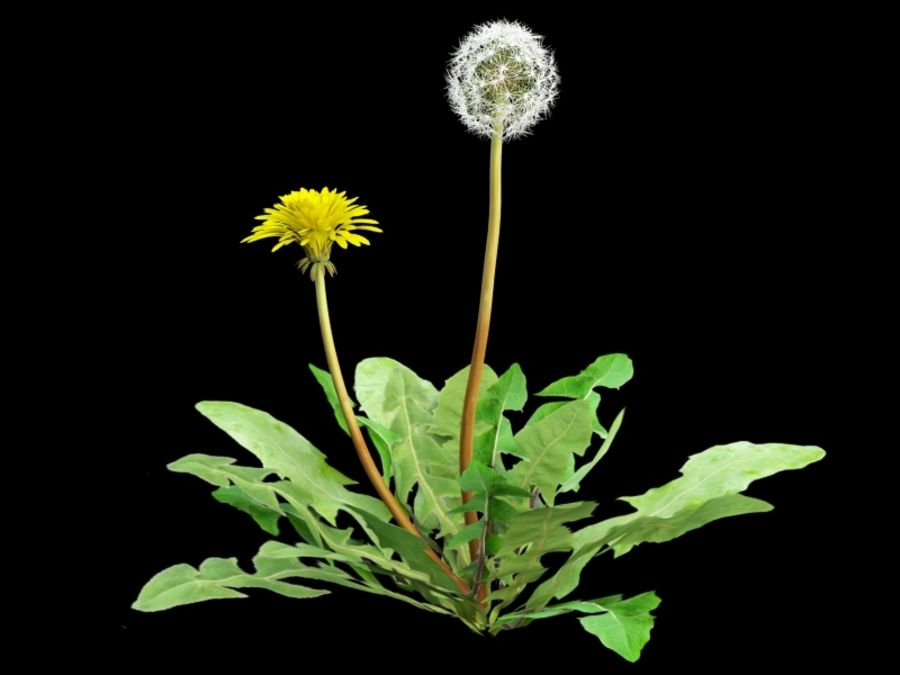 Taraxacum dandelion royalty-free 3d model - Preview no. 1