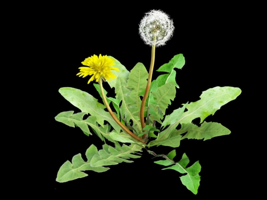Taraxacum dandelion royalty-free 3d model - Preview no. 2