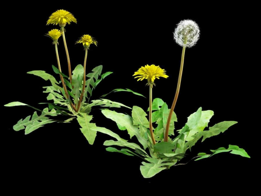 Taraxacum dandelion royalty-free 3d model - Preview no. 5