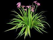 daylily 3d model