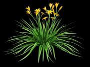 daylily hemerocallis 3d model