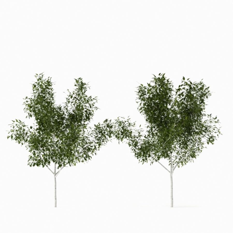 Betula royalty-free 3d model - Preview no. 3