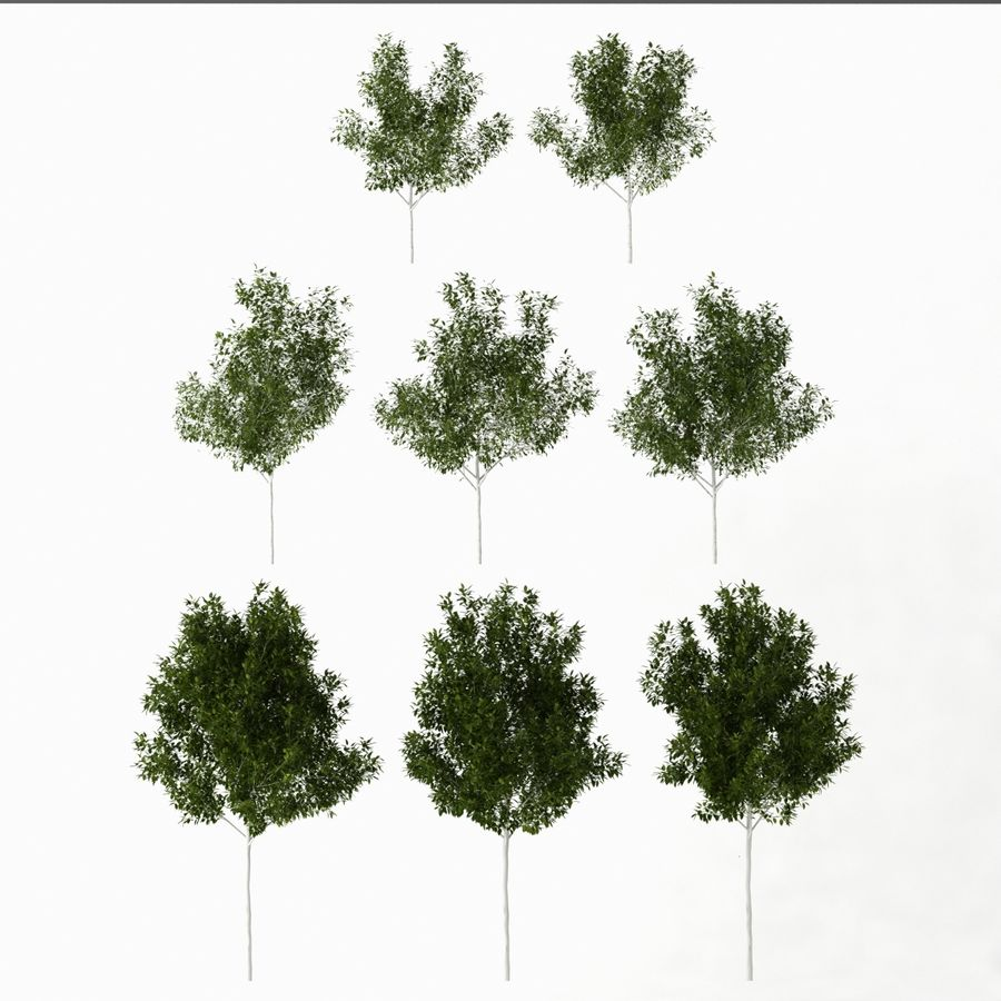 Betula royalty-free 3d model - Preview no. 7