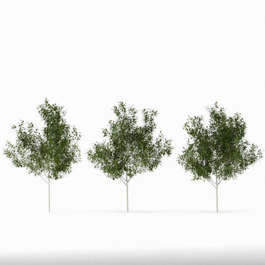 Betula royalty-free 3d model - Preview no. 4