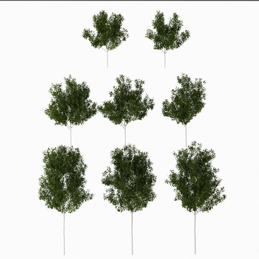 Betula royalty-free 3d model - Preview no. 8