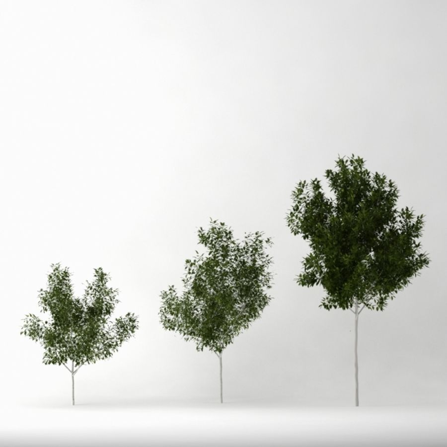 Betula royalty-free 3d model - Preview no. 2