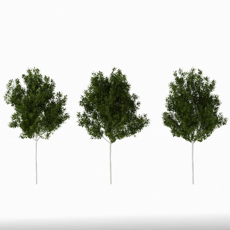 Betula royalty-free 3d model - Preview no. 5