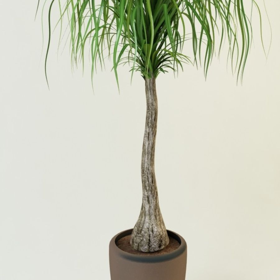 Ponytail Palm Indoor House Plant Html on indoor pony tail plant, corn house plant, indoor palms low light, wicker basket with silk areca palm plant, ponytail bonsai plant, elephant foot house plant,