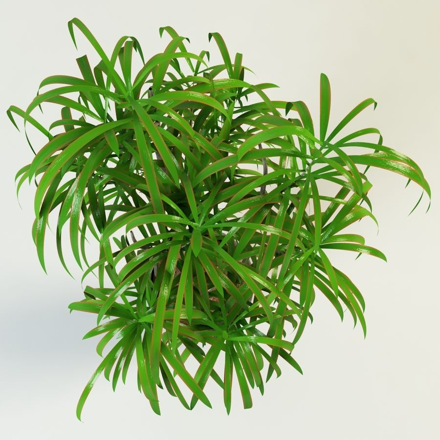dracaena palm royalty-free 3d model - Preview no. 4