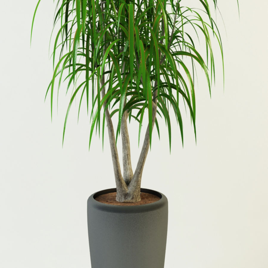 dracaena palm royalty-free 3d model - Preview no. 2