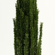 yew berry taxus baccata 3d model