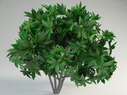 fatsia japonica fatsi Japanese aralia 3d model