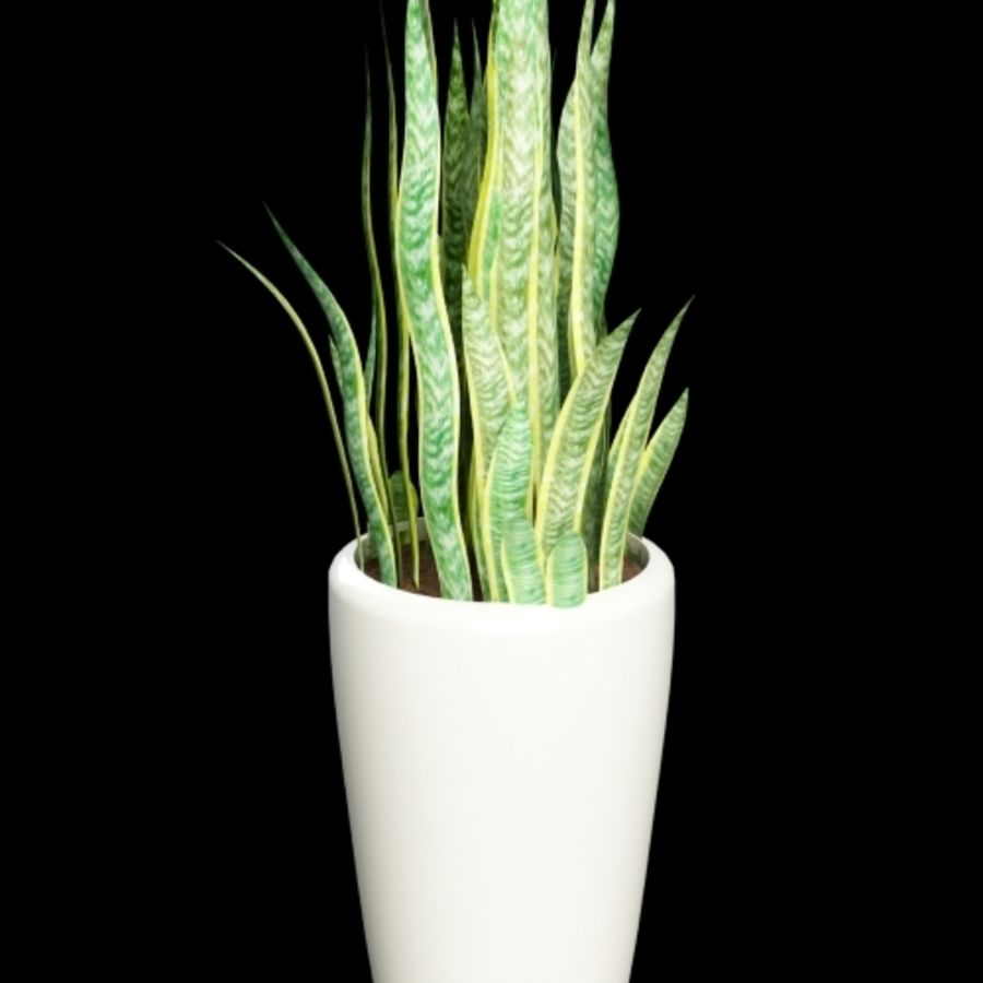 sansevieria snake plant royalty-free 3d model - Preview no. 3
