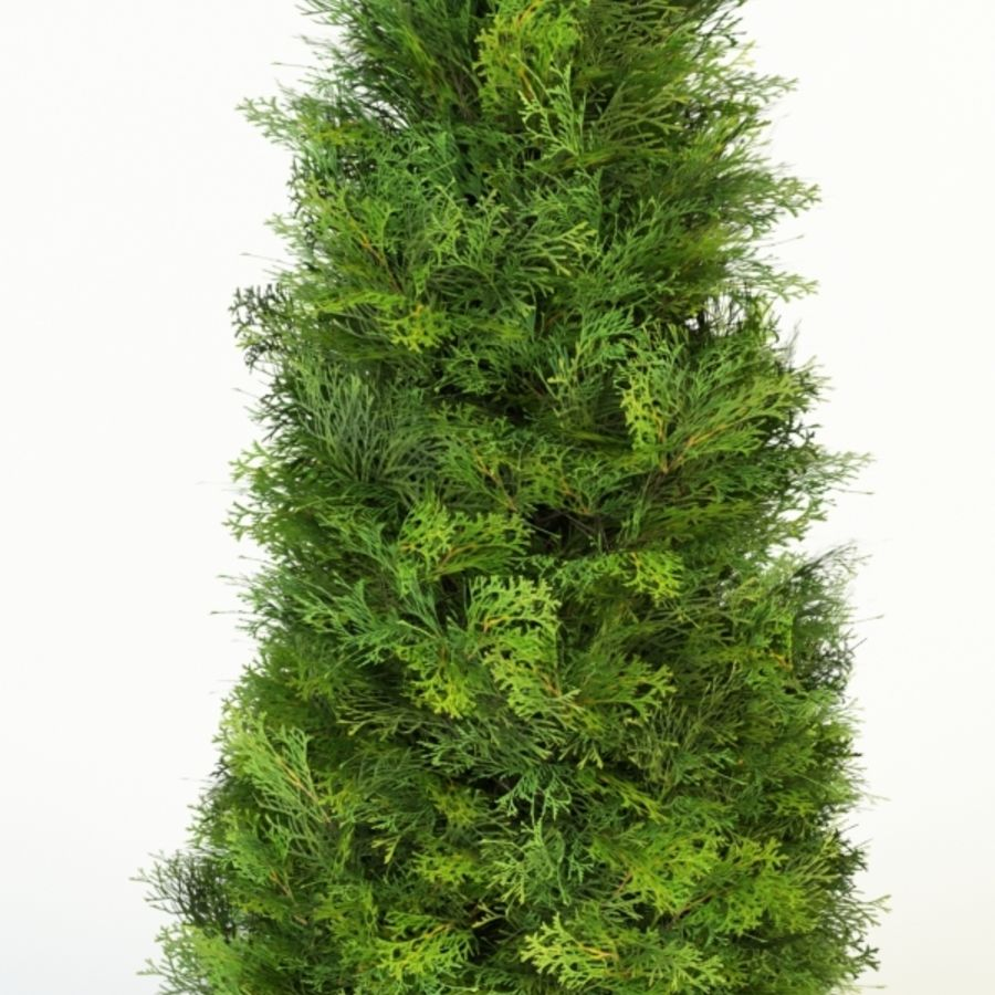 thuja occidentalis columna royalty-free 3d model - Preview no. 5