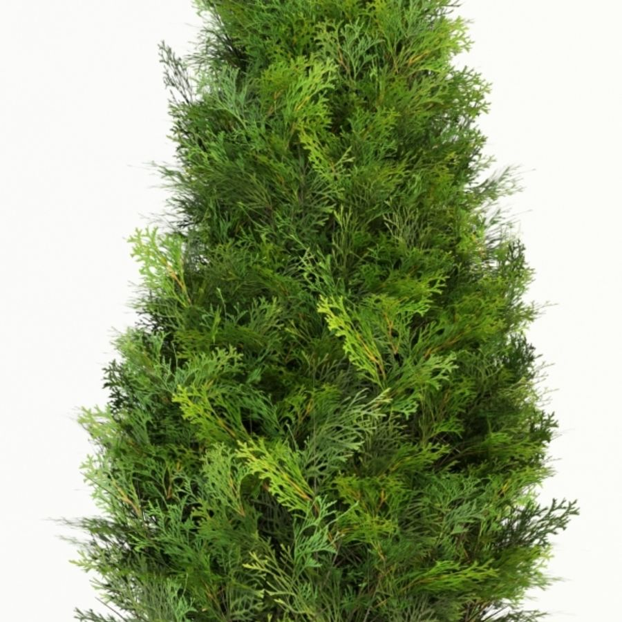 thuja occidentalis columna royalty-free 3d model - Preview no. 2